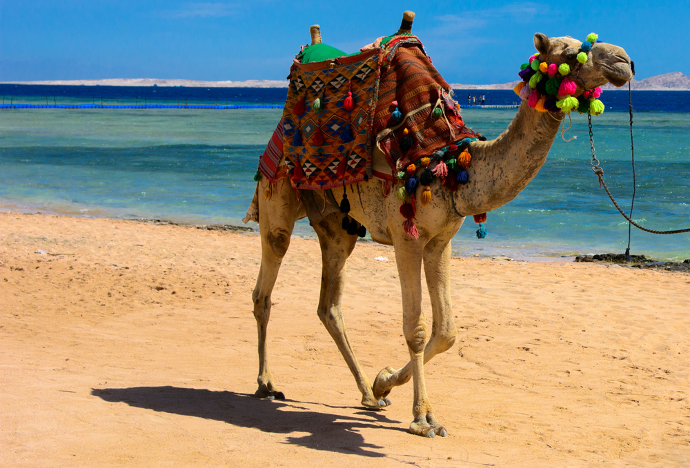 Bedouin camel on beach