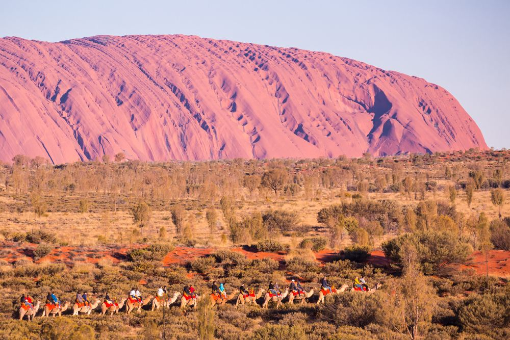 Camel tour on a clear winter's evening at sunset in Uluru (Ayers Rock), Northern Territory, Australia