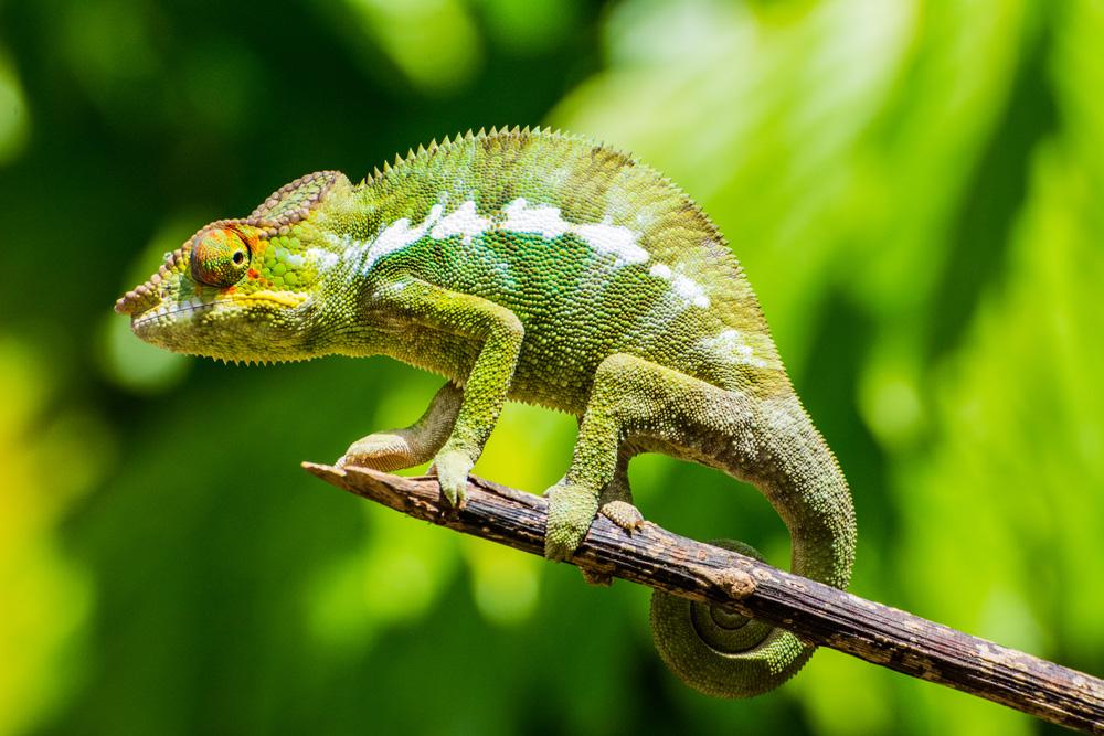 Chameleon in Nosy Be, Madagascar