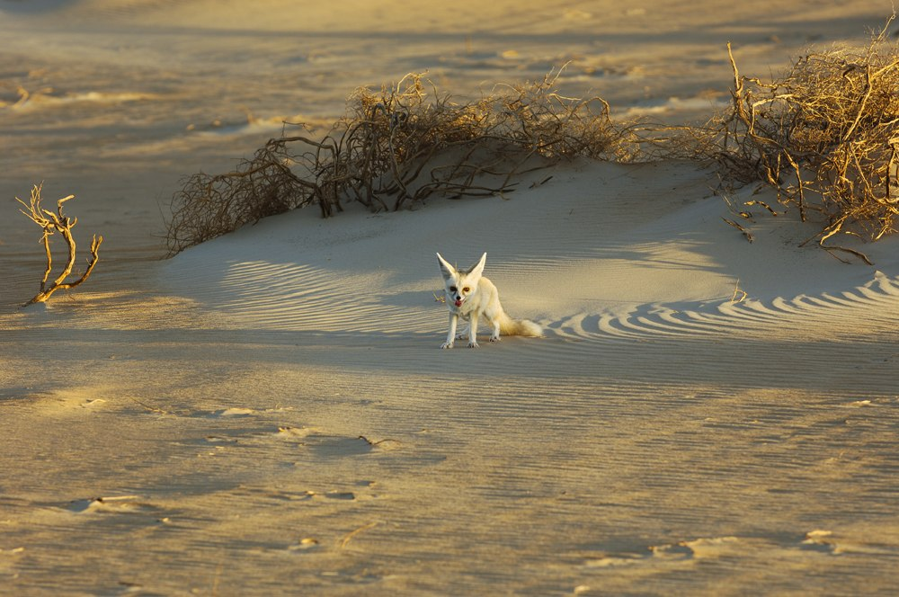 Desert fox in Rub' Al Khali, near Dubai, UAE (United Arab Emirates)