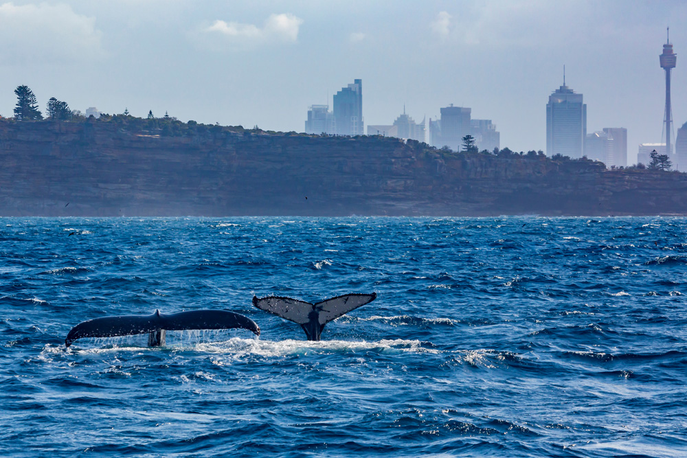 Humpback mother and calf off South Head in Sydney Harbour, New South Wales, Australia