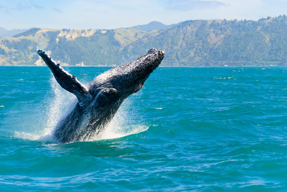 Humpback whale captured from Whale watching boat in Kaikoura, South Island, New Zealand