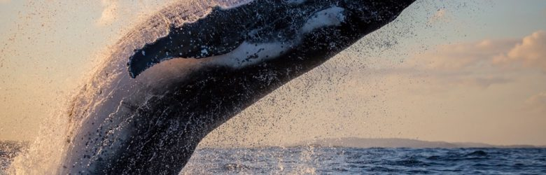 Humpback whale close up breaching off Sydney Harbour at sunset, New South Wales, Australia