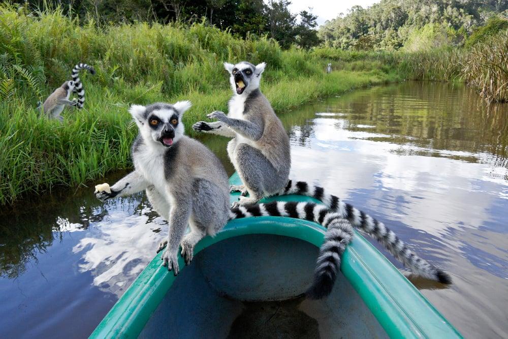 Ring-tailed lemurs eating bananas on bow of canoe, Lemurs Island, Madagascar