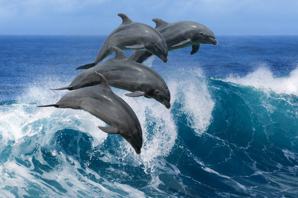 Beautiful dolphins jumping over breaking waves of the Pacific, Hawaii