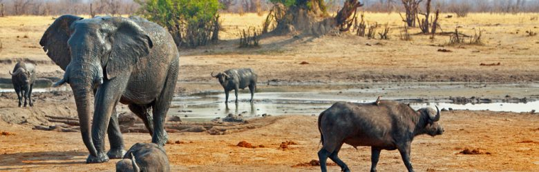 Elephant and buffalo at waterhole in Hwange National Park, Zimbabwe