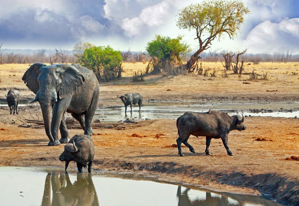 Elephant and buffalo at waterhole in Hwange National Park, Zimbabwe