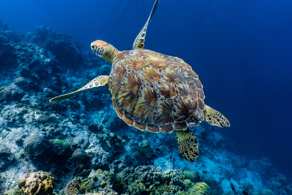 Green sea turtle swimming above a coral reef