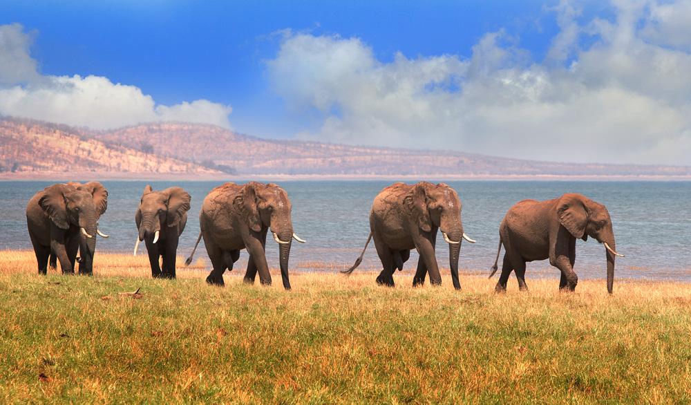 Herd of elephants on the shoreline of Lake Kariba in Matusadona National Park, Zimbabwe