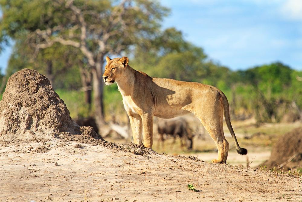 Lioness surveying the landscape in Hwange National Park, Zimbabwe