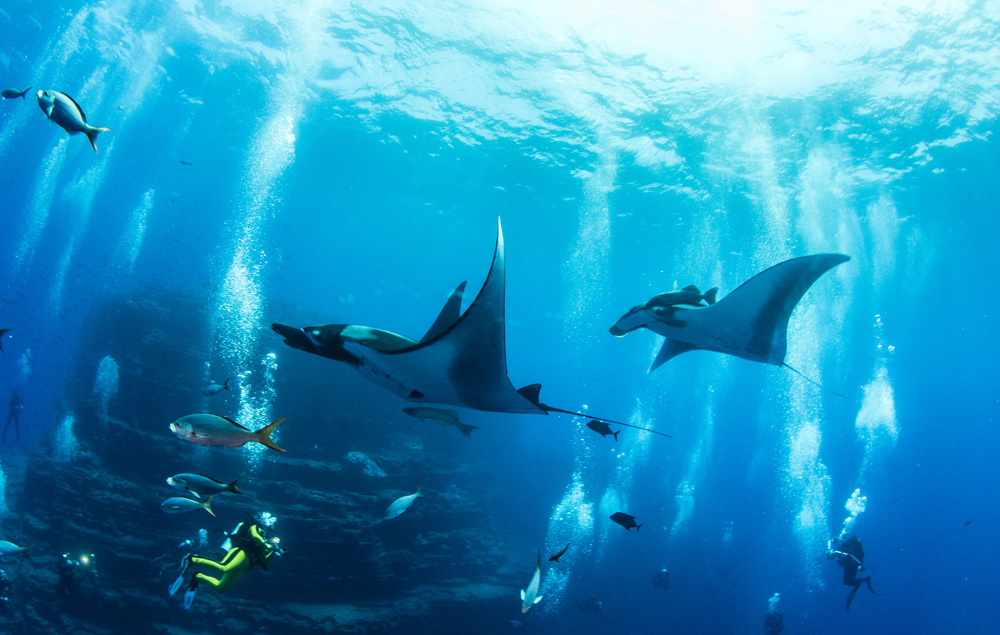 Manta rays and diver