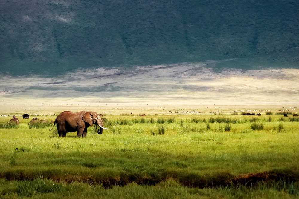 Wild African elephant in the Ngorongoro Crater, Tanzania