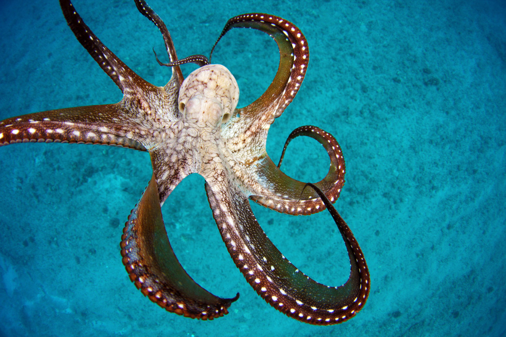Wild octopus in the ocean