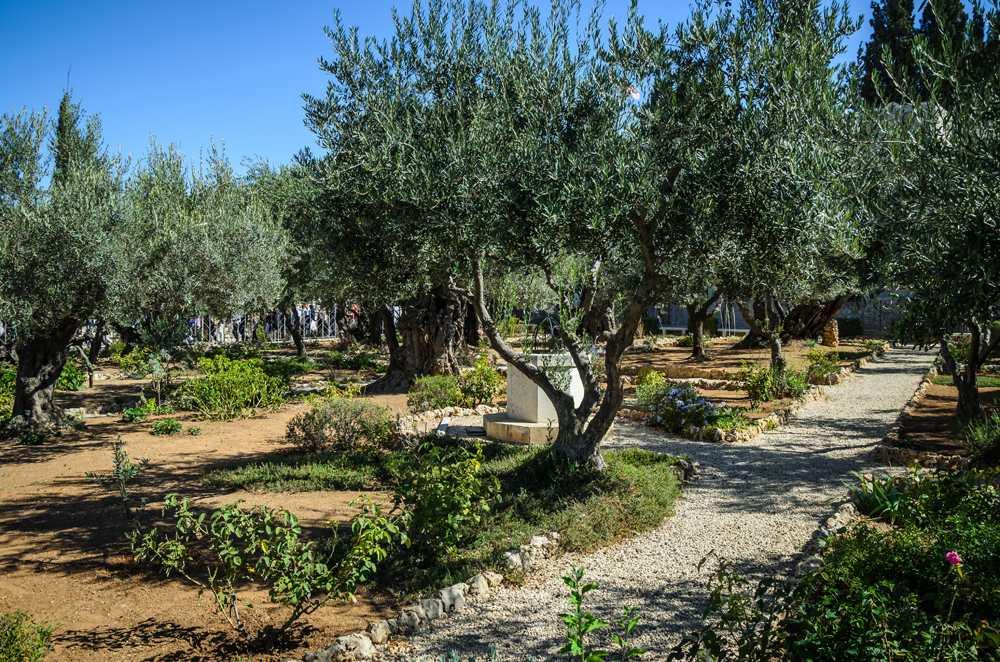 Garden of Gethsemane in Mount of Olives, Jerusalem, Israel