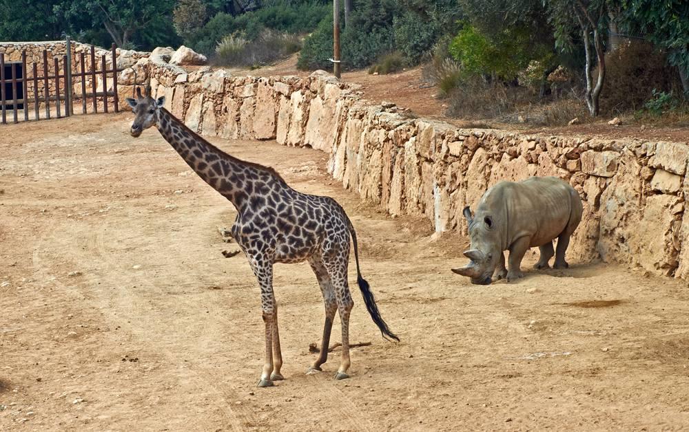 Giraffe and rhinoceros in the Jerusalem Biblical Zoo, Israel