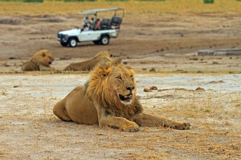 Lions resting in Hwange National Park, Zimbabwe
