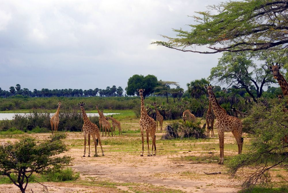 Maasai giraffes in Selous National Park, Tanzania