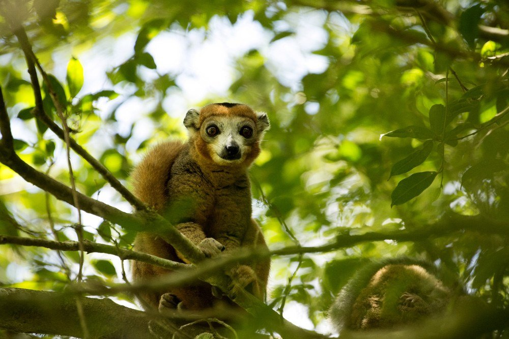Male crowned lemur at Amber Mountain National Park, Madagascar
