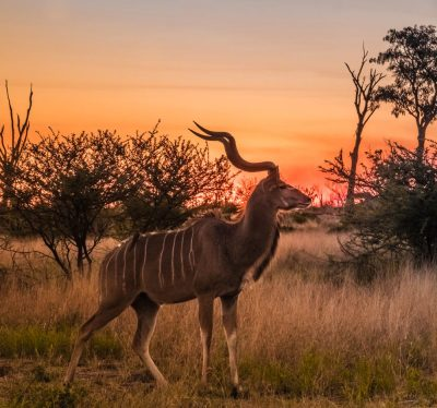 Male greater kudu at sunset, Moremi Game Reserve, Okavango Delta, Botswana