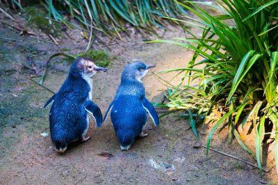 Blue little penguin or fairy penguin at Phillip Island, Australia