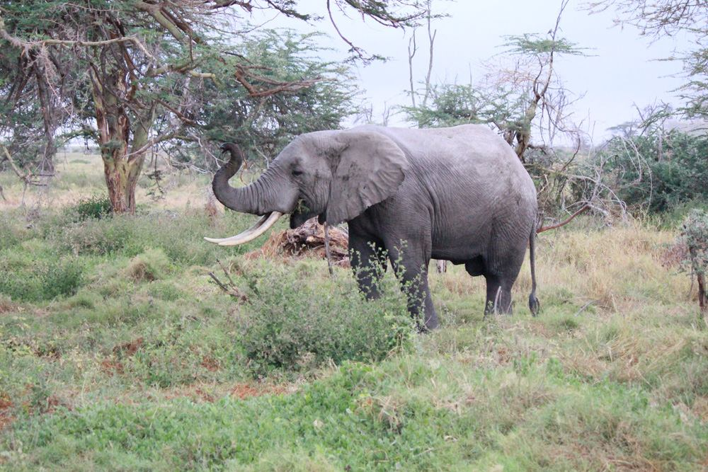 Christian Baines - Big tusker in search of breakfast, Amboseli, Kenya 013