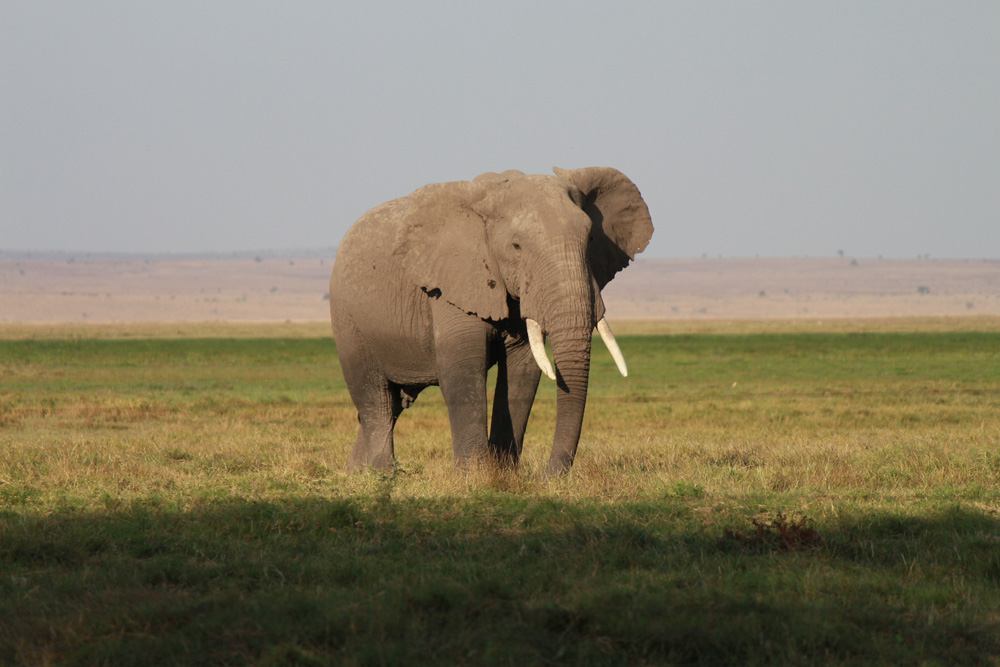 Christian Baines - Elephants wander the plains at the base of Kilimanjaro, Amboseli, Kenya 222