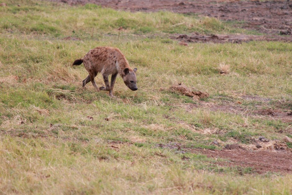 Christian Baines - Fresh from yesterday, an Amboseli hyena has the scent, Amboseli, Kenya 116