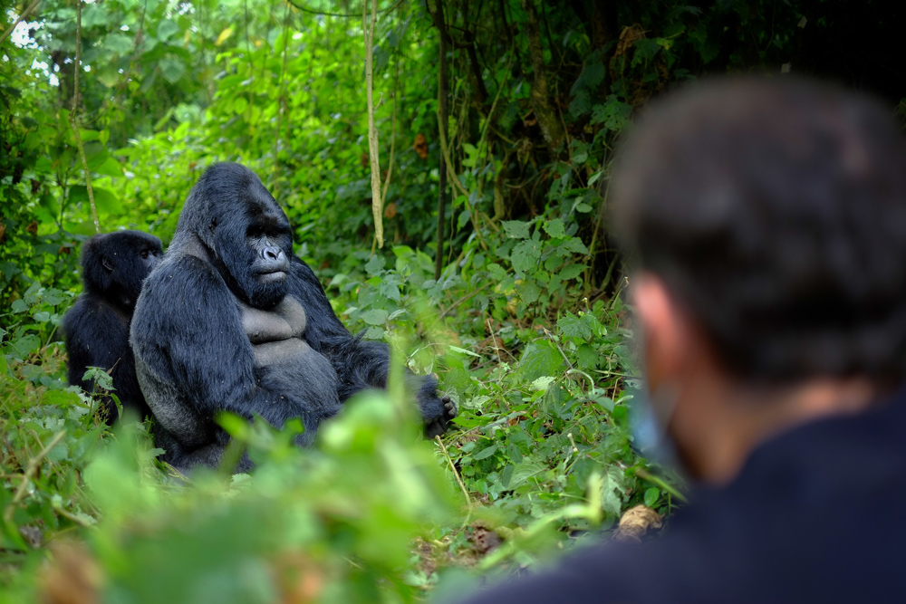 Encounter with a Silverback gorilla, Rwanda
