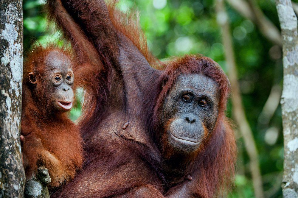 Female orangutan with cub in her native habitat, Borneo, Malaysia