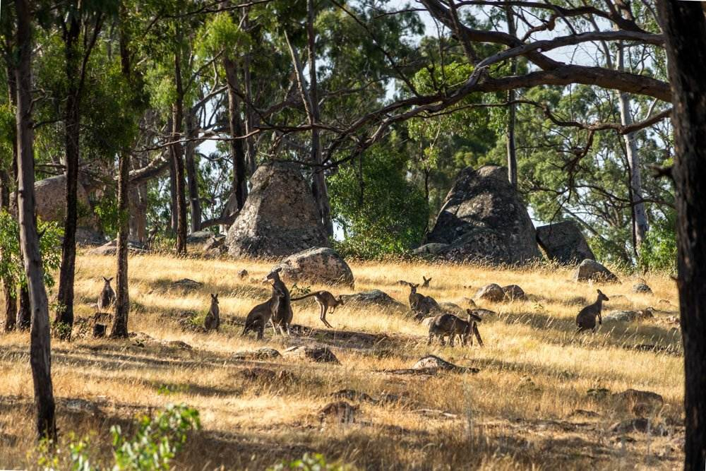 Group of kangaroos in Grampians National Park, Australia