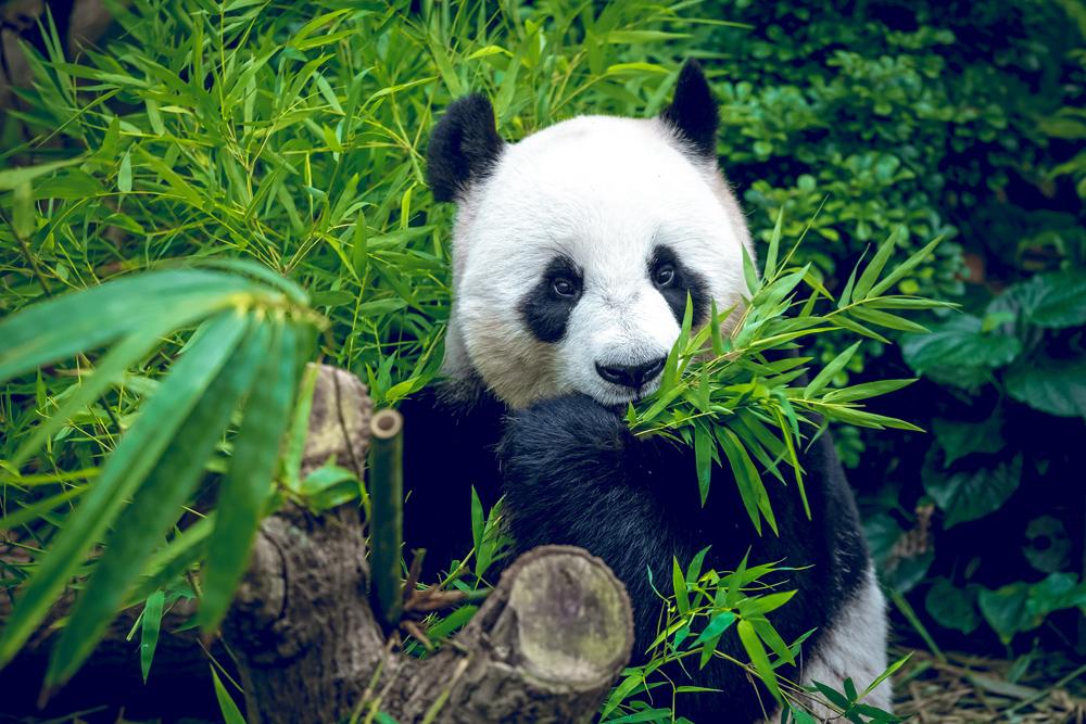 Hungry giant panda bear eating bamboo, Chengdu, China