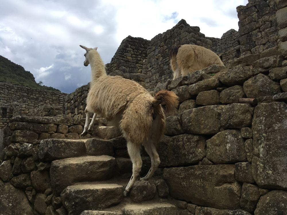 Aren Bergstrom - Llamas have to use the stairs like everyone else, Machu Picchu, Peru