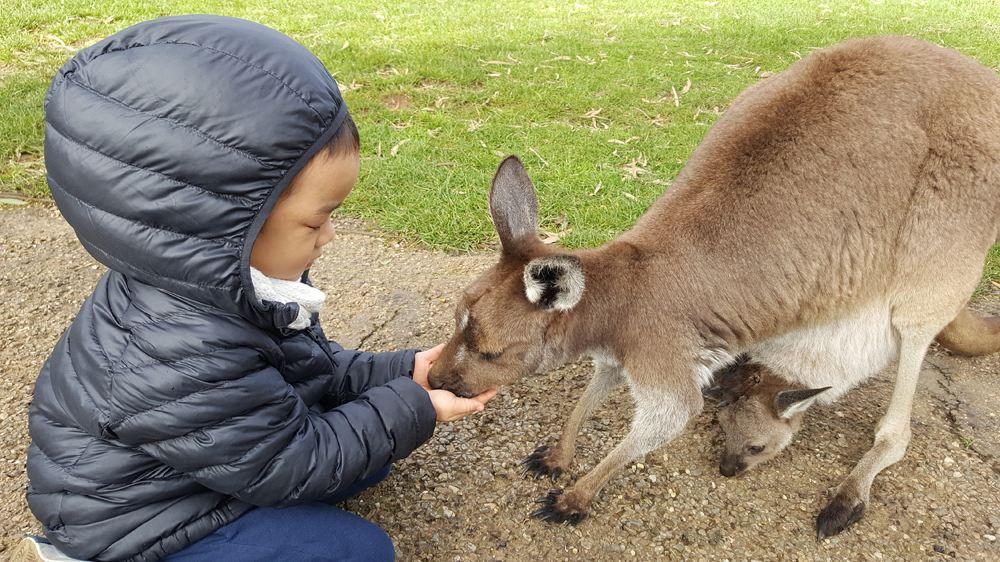 Child feeding a mother and baby kangaroo in wildlife park, Australia