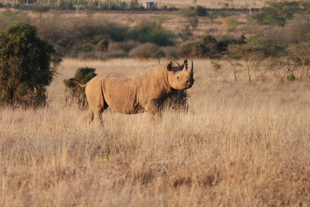 Christian Baines - A solitary black rhino satisfies its curiosity, Nairobi National Park, Kenya 554
