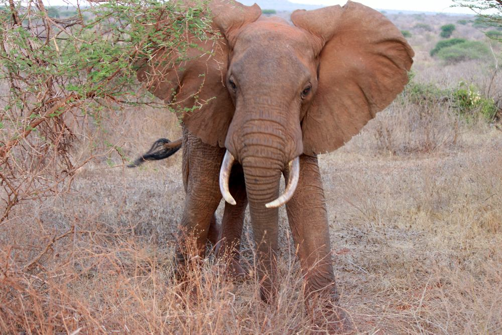 Christian Baines - An elephant flapping its ears is a sign to back off, Tsavo, Kenya 417