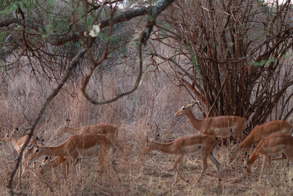 Christian Baines - Antelopes abound throughout the bush, Tsavo, Kenya 426
