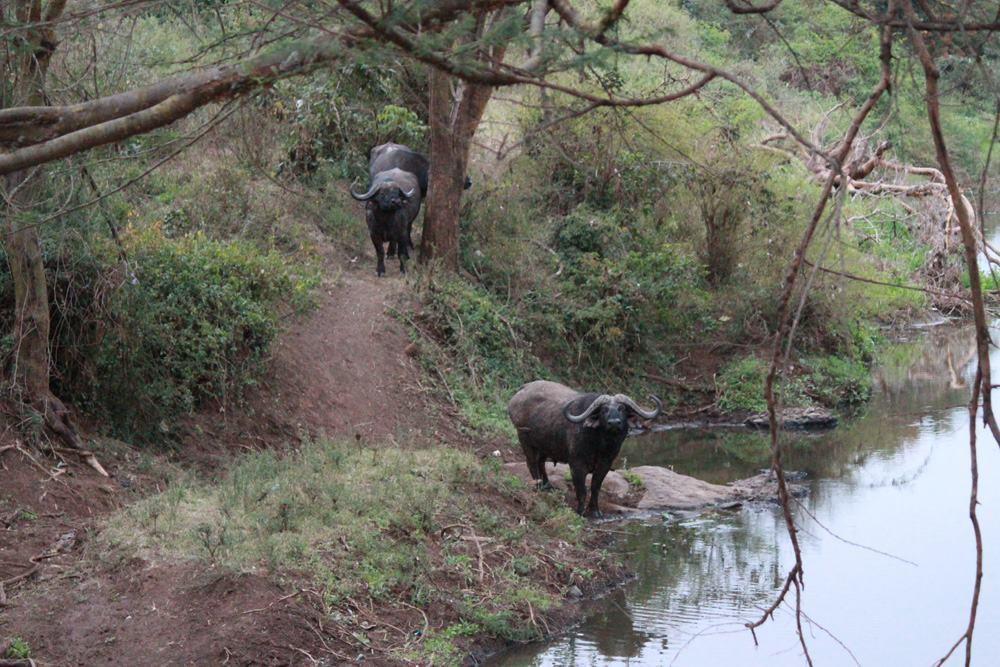 Christian Baines - Cape Buffalo stop by for a drink at Ololo Safari Lodge, Kenya 534