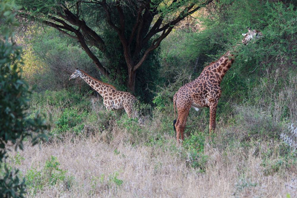 Christian Baines - Giraffes in search of breakfast, Tsavo, Kenya 450