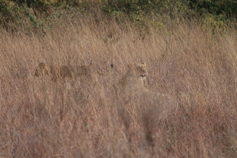 Christian Baines - Look close to spy a mother with her cubs, Kenya 574
