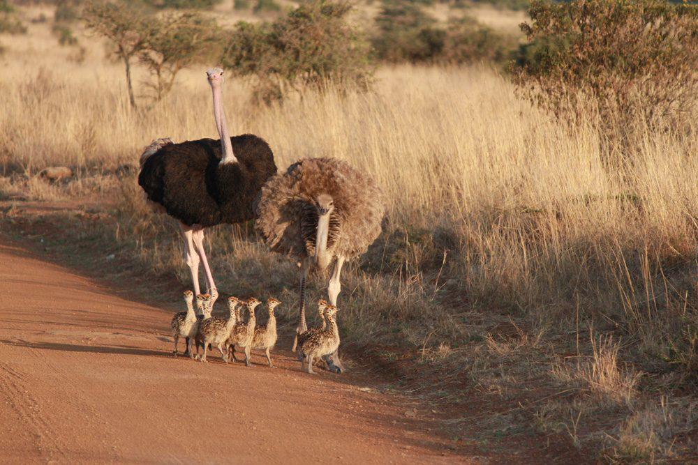 Christian Baines - Proud parents with their chicks, Nairobi National Park, Kenya 559