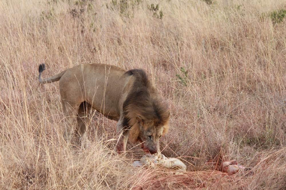 Christian Baines - Taking the lion's share, Kenya 592