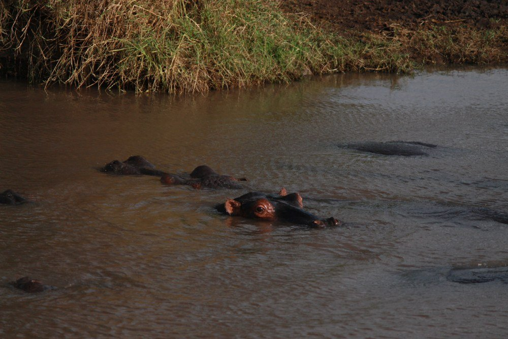 Christian Baines - Up close and personal with a hippo pod on a walking safari, Tsavo, Kenya _5202