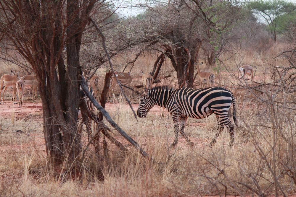 Christian Baines - Viewings at Tsavo are more sporadic, but satisfying, Tsavo, Kenya 401