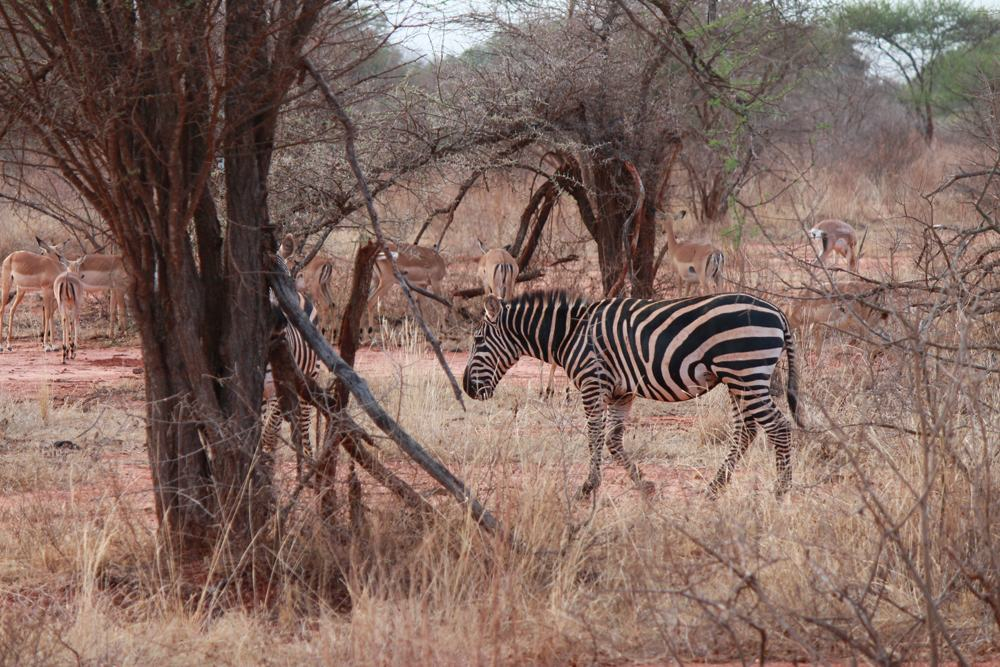 Christian Baines - Viewings at Tsavo are more sporadic, but satisfying, Tsavo, Kenya 401