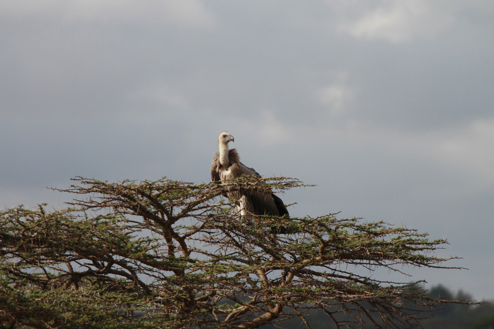 Christian Baines - Vultures are ready to clean up the scraps, Kenya 608