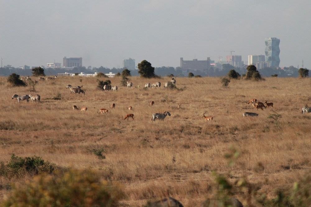 Christian Baines - Wild herds in the shadow of skyscrapers, Nairobi, Kenya 490