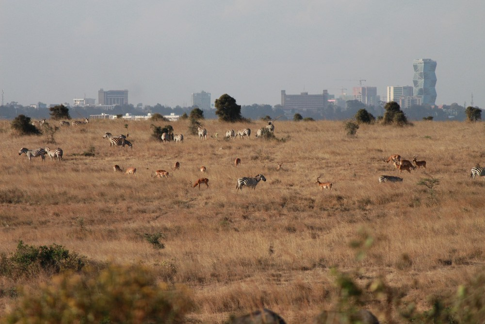 Christian Baines - Wild herds in the shadow of skyscrapers, Nairobi, Kenya 490