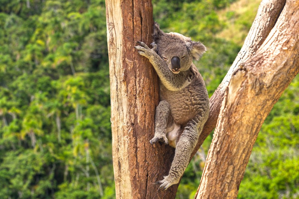 Cute Koala in Lone Pine Sanctuary, Queensland, Australia