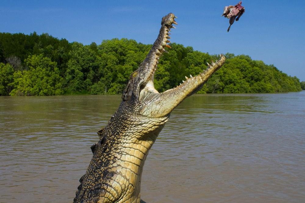 Feeding time for saltwater crocodile in Kakadu National Park, Northern Territory, Australia