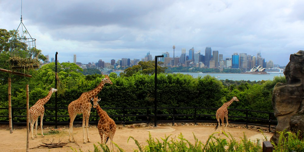 Giraffes at Taronga Zoo with Sydney city skyline in the background, Sydney, Australia
